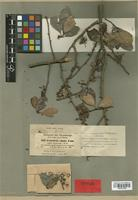 Type of Celastrus obscurus A. Rich. [family CELASTRACEAE]