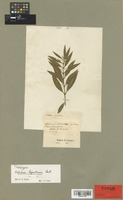 Isotype of Notelaea ligustrina Vent. [family OLEACEAE]