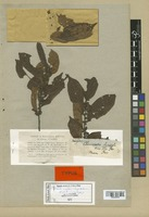 Isotype of Chaetocrater capitatum Ruiz & Pav. [family FLACOURTIACEAE]