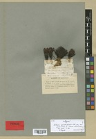Isotype of Sedum quadrifidum Pall. var. scoparia Hook. f. & Thomson [family CRASSULACEAE]