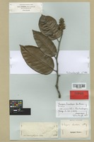 Isotype of Couepia bracteosa Benth. [family CHRYSOBALANACEAE]