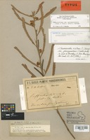Type of Cassia flavicoma Kunth var. paraguariensis Chodat [family LEGUMINOSAE]