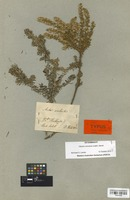 Type of Aster aculeatus Labill. [family COMPOSITAE]