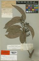 Isotype of Nectandra acutangula Miq. [family LAURACEAE]