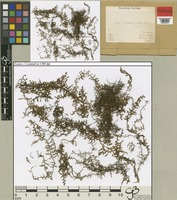 Type of Frullania appendiculata Steph. [family JUBULACEAE]