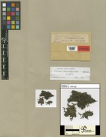 Type of Frullania fuscovirens Steph. [family JUBULACEAE]