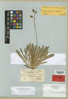 Lectotype of Hieracium ullepitschii Blocki [family ASTERACEAE]