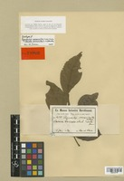 Isotype of Rigiostachys connaroides Loes. & Soler. [family SIMAROUBACEAE]