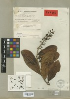Isotype of Souroubea dasystachya Gilg & Werderm. [family MARCGRAVIACEAE]