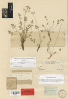 Isotype of Aletes macdougalii J. M. Coult. & Rose [family UMBELLIFERAE]