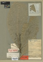 Isotype of Aiouea angulata Kosterm. [family LAURACEAE]