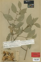 Type of Hippocratea grisebachii Loes. [family CELASTRACEAE]