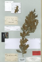 Isolectotype of Grevillea behrii Schltdl. [family PROTEACEAE]