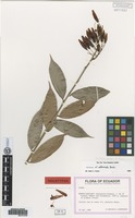 Holotype of Orthaea oriens Luteyn [family ERICACEAE]