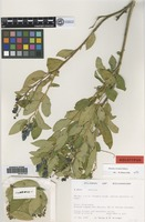Holotype of Monnina reticulata B. Eriksen [family POLYGALACEAE]