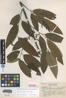 Isotype of Rollinia laurifolia Schltdl. var. divergens R. E. Fr. [family ANNONACEAE]