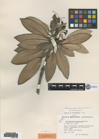 Isotype of Rhododendron cuprescens Nitz. [family ERICACEAE]