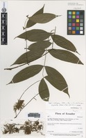 Isotype of Zygia nubigena B. Ståhl, L. Rico & G. P. Lewis [family FABACEAE]