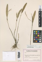 Holotype of Stelis xystophora Luer [family ORCHIDACEAE]