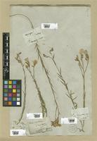 Filed as Linum narbonense L. [family LINACEAE]