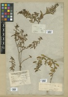 Filed as Croton ovalifolius Vahl var. genuinus Müll. Arg. [family EUPHORBIACEAE]