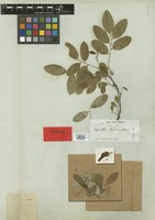 Isotype of Phyllanthus pseudocicca Griseb. [family EUPHORBIACEAE]