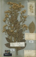 Filed as Vernonia aspera Buch.-Ham. [family COMPOSITAE]