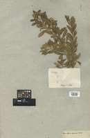 Filed as Baccharis resinosa Kunth [family COMPOSITAE]