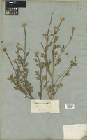 Filed as Anthemis arvensis L. [family COMPOSITAE]