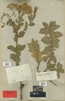 Type of Baccharis ovalis Pers. [family COMPOSITAE]