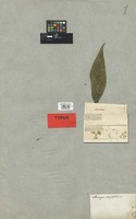 Isotype of Allocarpus integrifolius DC. [family COMPOSITAE]