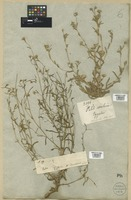 Filed as Pulicaria arabica (L.) Cass. [family COMPOSITAE]