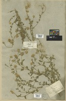 Filed as Pulicaria dysenterica (L.) Bernh. [family COMPOSITAE]