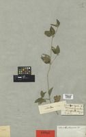 Isotype of Blainvillea biaristata DC. [family COMPOSITAE]