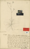 Holotype of Senecio rosellatus DC. [family COMPOSITAE]