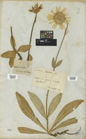 Filed as Arnica montana L. [family COMPOSITAE]
