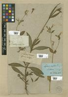Filed as Lychnis dioica L. [family CARYOPHYLLACEAE]