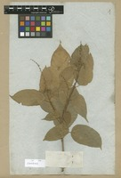 Filed as Mallotus longifolius (Rchb. f. & Zoll.) Müll. Arg. var. genuinus Müll. Arg. [family EUPHORBIACEAE]