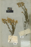 Filed as Baccharis thesioides Kunth [family COMPOSITAE]