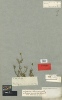 Holotype of Coreopsis anthemoides DC. [family COMPOSITAE]