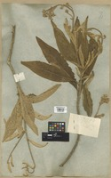 Filed as Blumea balsamifera (L.) DC. [family COMPOSITAE]