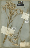 Filed as Senecio doria L. [family COMPOSITAE]