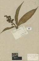 Filed as Dichorisandra thyrsiflora J. C. Mikan [family COMMELINACEAE]
