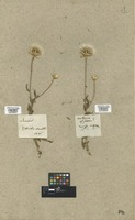 Filed as Barkhausia foetida (L.) F. W. Schmidt [family COMPOSITAE]
