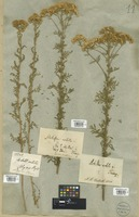 Filed as Achillea nobilis L. [family COMPOSITAE]