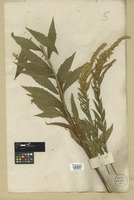 Filed as Solidago altissima L. [family COMPOSITAE]