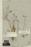 Filed as Hypochaeris glabra L. [family COMPOSITAE]