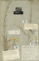 Filed as Helichrysum arenarium (L.) Moench [family COMPOSITAE]