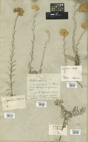 Filed as Helichrysum stoechas (L.) Moench [family COMPOSITAE]