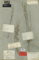 Holotype of Psilostrophe gnaphalodes DC. [family COMPOSITAE]
